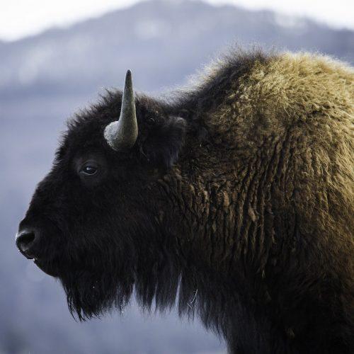 bison-3661056_1920